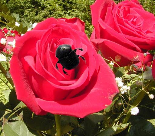red-rose-copy6