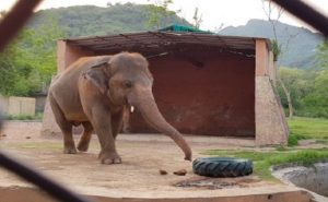 पाकिस्तान में कैद हाथी ने कोर्ट से जीत ली आजादी की लड़ाई, अब कंबोडिया के जंगलों में स्वतंत्र जिएगा