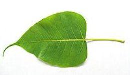 Religious Significance of Peepal Tree