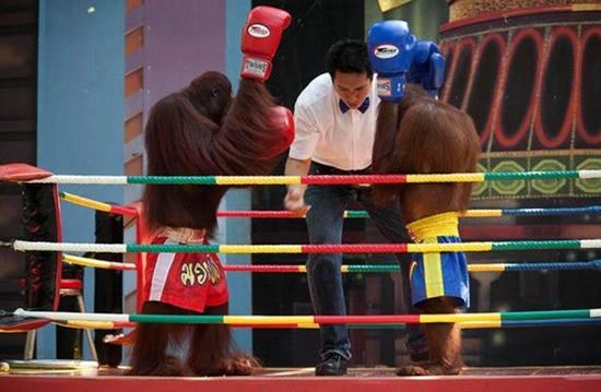 monkey-boxing 1