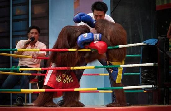 monkey-boxing2