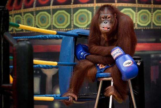 monkey-boxing5