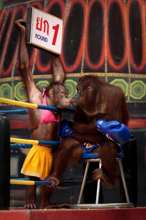monkey-boxing6
