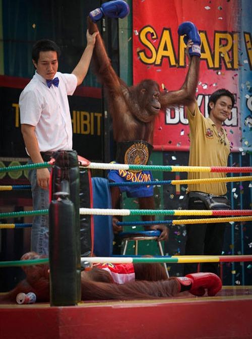 monkey-boxing8