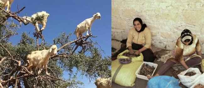 moraco goat
