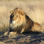 800px-Lion_waiting_in_Nambia
