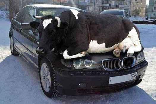 Cow-in-London