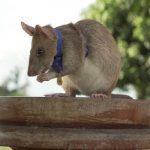 चूहे को मिला बहादुरी का गोल्ड मेडल, 39 लैंडमाइंस नष्ट कर बचाई लोगों की जान