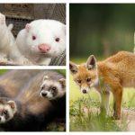 कब्र से जिंदा निकलने लगे कोरोना संक्रमित मिंक एनीमल, वायरस के चलते 5 जानवरों की फार्मिंग पर रोक