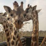 दो जीराफ ने दुनियाभर के पशुविज्ञानियों की चिंता बढ़ाई, अलग कद-काठी ने अनोखा बनाया