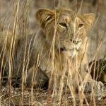 हैदराबाद में 8 एशियाई शेर कोरोना संक्रमित मिले, सैन डिएगो जू के 9 गोरिल्ला भी चपेट में आए थे