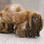 बालों के भार से मरने की कगार पर पहुंचे डॉग को बचाया, ढंक चुका था आंख-कान समेत पूरा शरीर