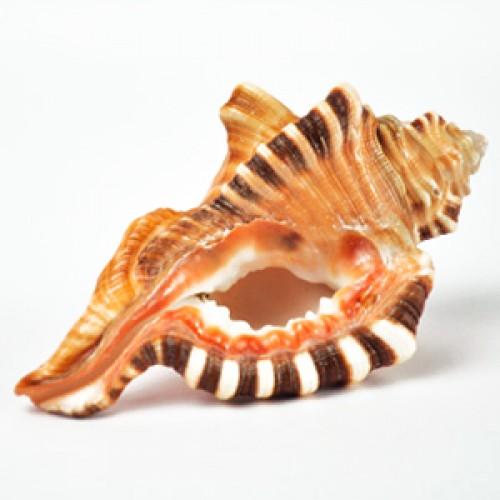 ganesh-conch-500x500