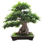 13676329-bonsai-banyan-tree-with-white-background