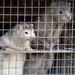 कोरोना के चलते मारे जाएंगे 1.5 करोड़ जानवर, पहले भी 10 लाख से ज्यादा मारे जा चुके