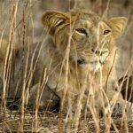 कोरोना पॉजिटिव 8 शेर तेजी से रिकवर हो रहे, पहले भी ठीक हो चुके हैं संक्रमित एनीमल्स